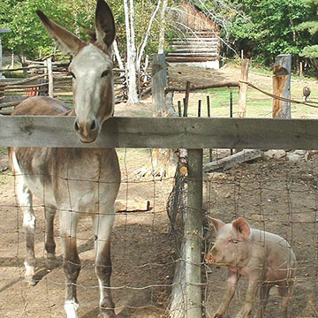 Donkey and piglet inside of an outdoor pen
